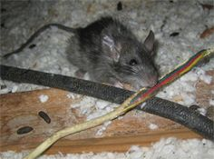 rats in homes