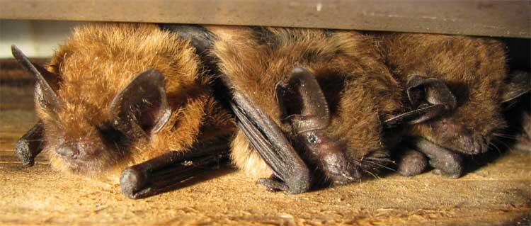 Bats in hilton head