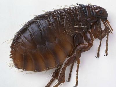 Fleas On Hilton head
