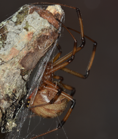 Highlighting South Carolina's Cellar Spiders