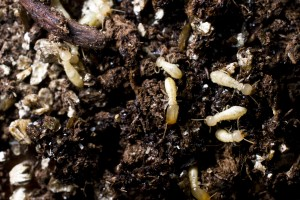 Termite Soil Treatment