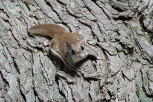 A flying squirrel clings to the side of a tree near a corn feeder on a summer night in eastern Illinois
