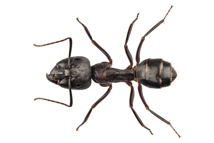 Island Pest Control Termites Aren T The Only Insect That Destroy Wood Meet The Carpenter Ant