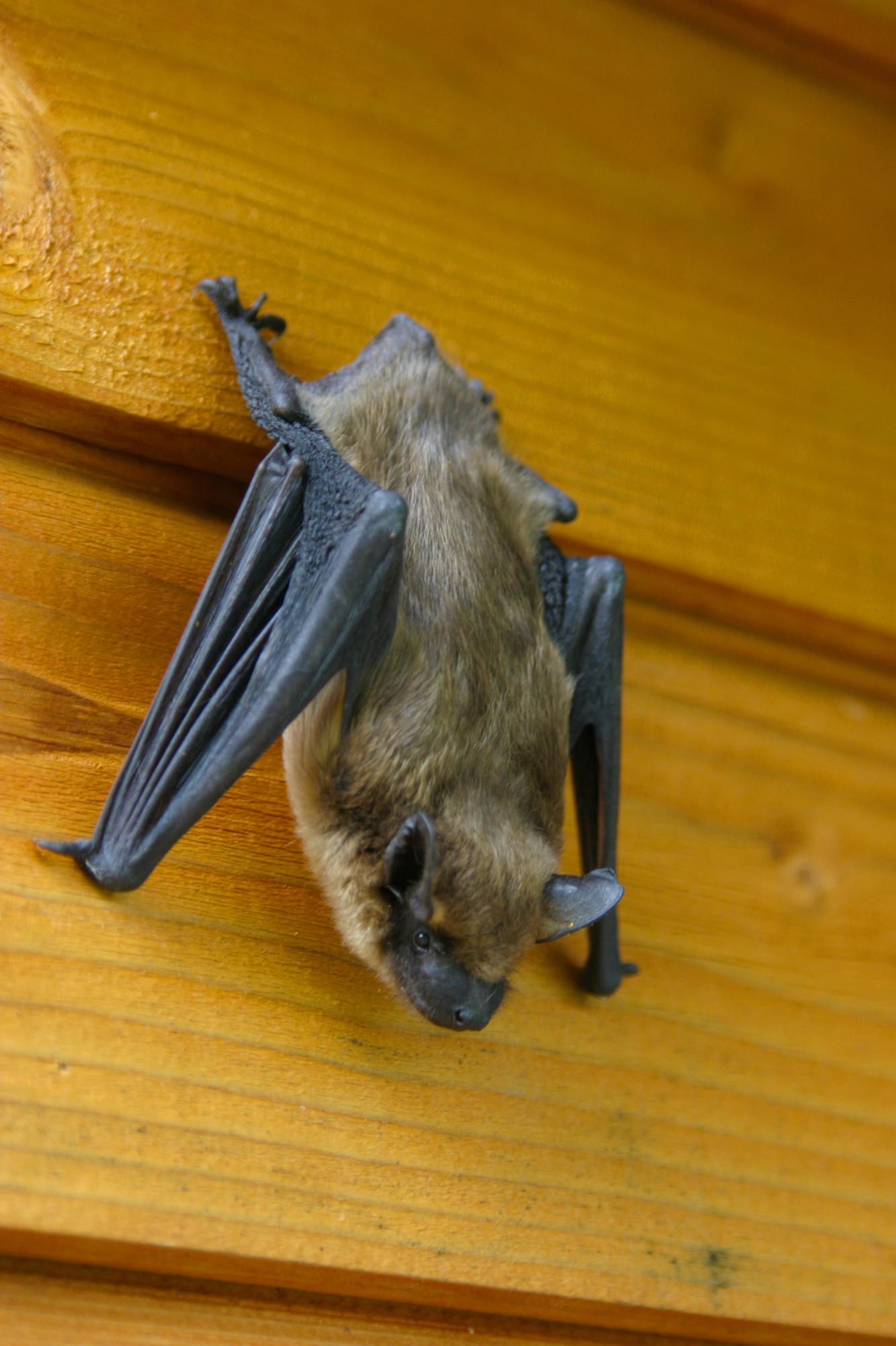 Do Not Let Bats Set Up Housekeeping in Your Attic!