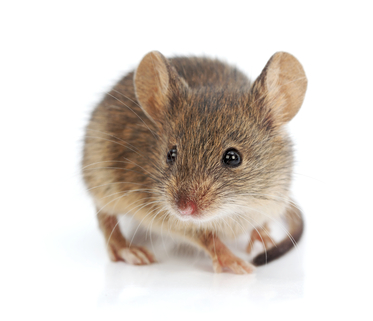 Mice Are Ready to Move Into Your Home! Call Island Pest Control Now,