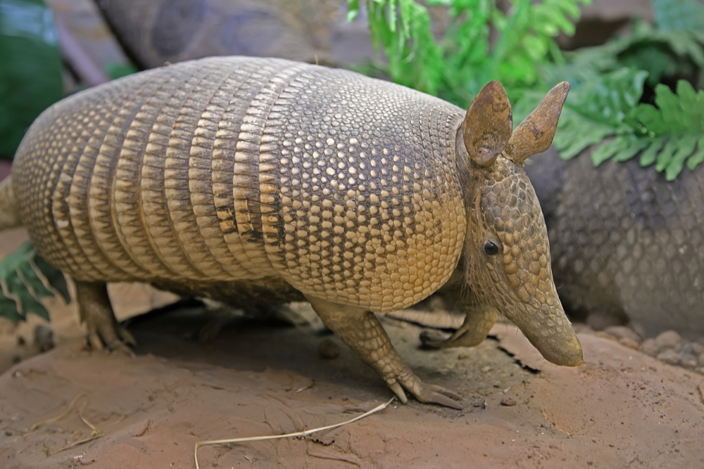 Call Island Pest Control for Removal of Armadillos