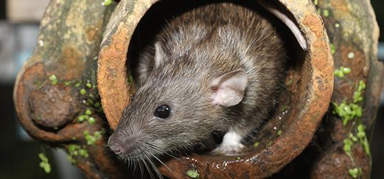 hilton head mice control