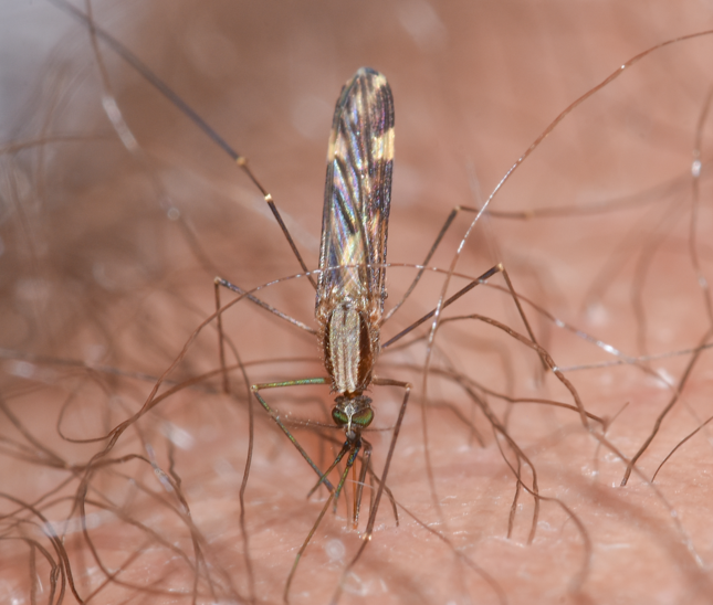 Mosquitoes and the Spread of Disease