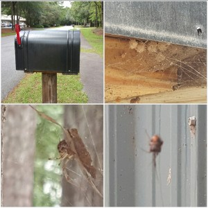 Brown Widow Spider Infestation at Hilton Head Island Business. Island Pest Control came to the rescue!