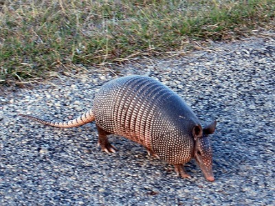 Do Armadillos Hibernate in South Carolina in the Winter?