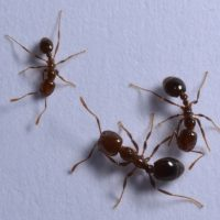 Clemson Entomologists Watch Crazy Ant Migration Near South Carolina