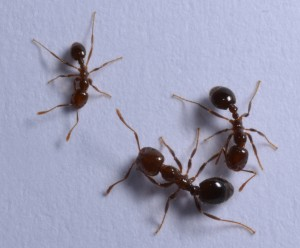 More on the Topic: Fire Ants to Hate - There Are Two Types of Fire Ants