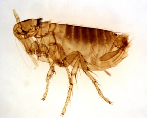 How to Get Rid of Fleas