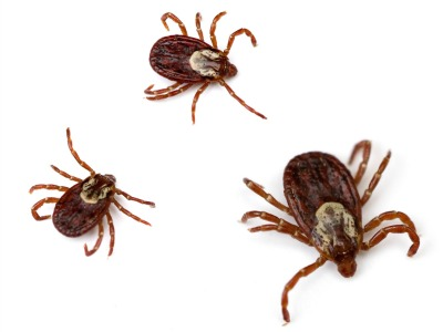Island Pest Control's Tips for Dealing with Local Area Ticks