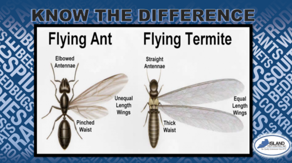 Island Pest Control The Difference Between Flying Ants Vs Flying Termites