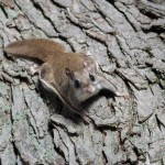 What South Carolina Homeowners Should Know About Flying Squirrels