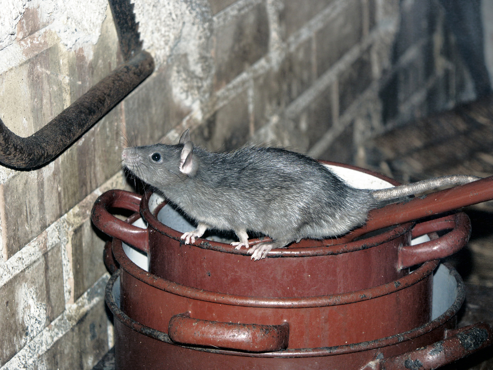 16 Inches Of Nightmare Roof Rats Are A Sc Problem