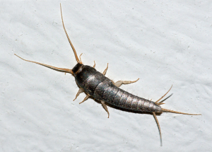 hilton head silverfish