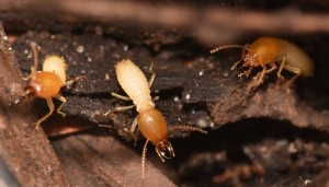 Don't Get Overwhelmed by Termite Colonies, Let Us Help!