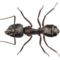 Carpenter Ants Will Damage Wood and Structures