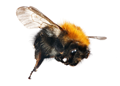 Two Species of Carpenter Bees or Wood Boring Bees That Live in South Carolina
