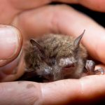 Bat Populations Recovering from White-Nose Syndrome