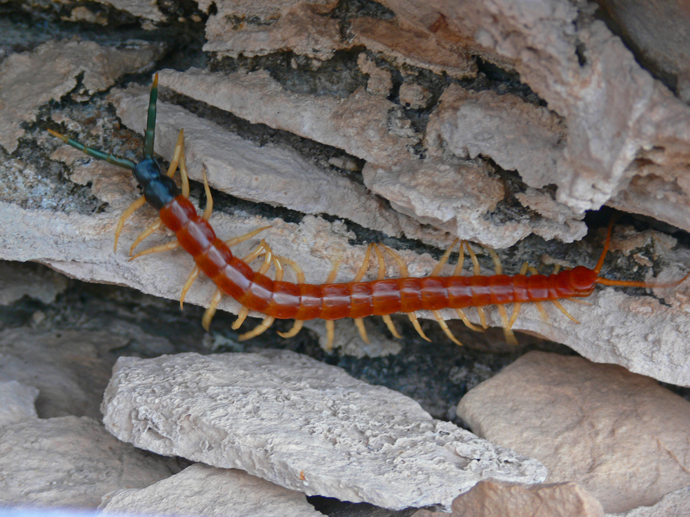 Centipedes: Interesting Facts for South Carolina Homeowners