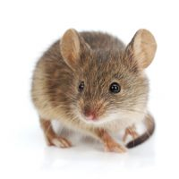 Seeing Just One Mouse in Your House Usually Means There Are Many More