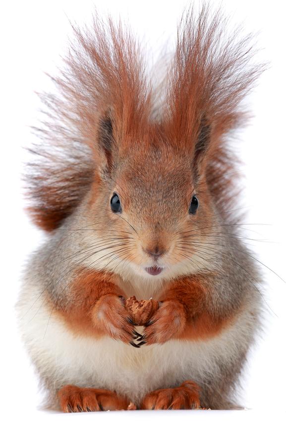 Don't Let Squirrels Destroy Your Attic
