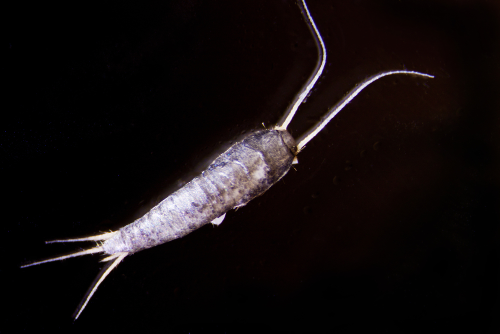 Silverfish and Firebrats as well as other pests are closet pests that need treatment.