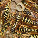 Bald Faced Hornets: Large Colonies Create Problems for South Carolina Residents