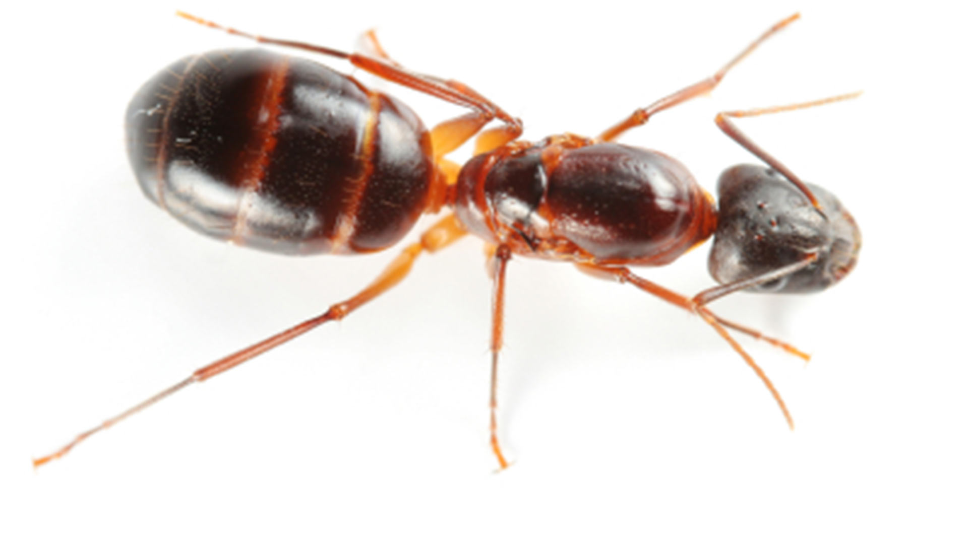 Carpenter Ants Live in Destructive Colonies