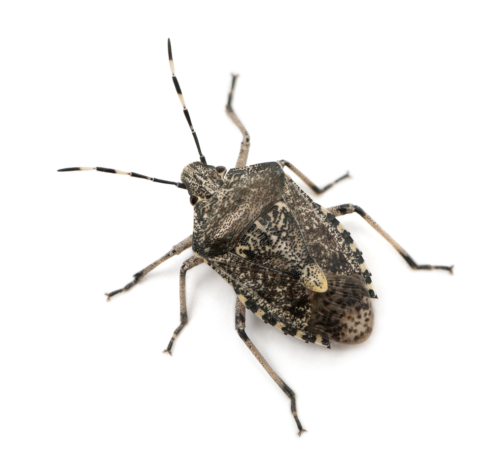 How to Deal with Removing Stinkbugs