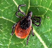 Be Aware of Disease Carrying Ticks When Hiking