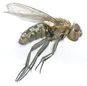 Are Flies Buzzing Around Your Home? Cluster Flies Are Most Likely The Culprit